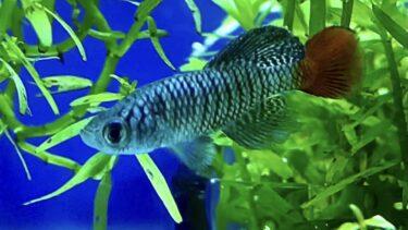 ノソブランキウス パトリザイの成長記録 〜卵から成魚になるまで〜