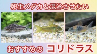 みんな大好きコリドラス!〜卵生メダカと混泳させたいおすすめ種ベスト5〜